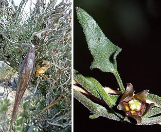 Matelea parvifolia