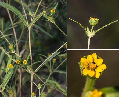 Melampodium strigosum