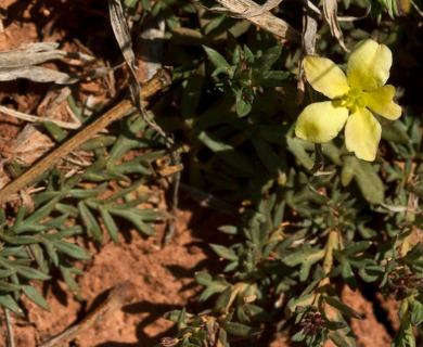 Menodora heterophylla