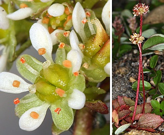 Micranthes aprica