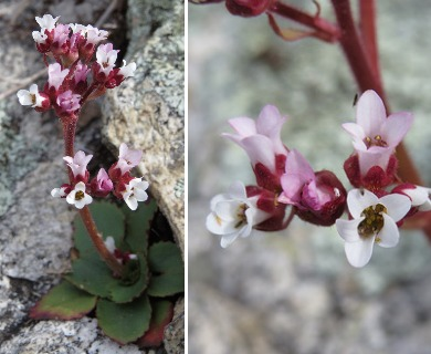 Micranthes eriophora