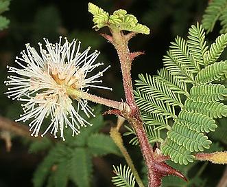 Mimosa aculeaticarpa