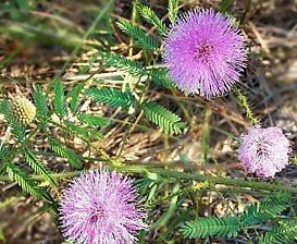Mimosa nuttallii
