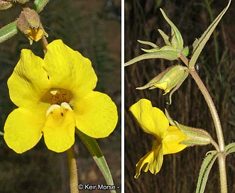 Mimulus brevipes