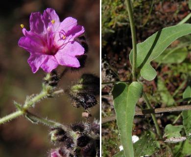 Mirabilis melanotricha