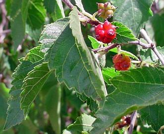 Morus microphylla