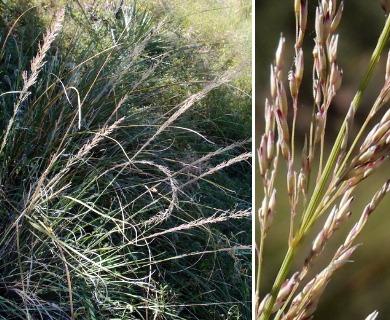 Muhlenbergia longiligula
