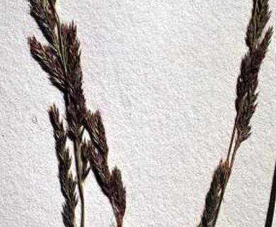 Muhlenbergia sylvatica