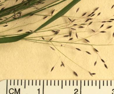 Muhlenbergia uniflora