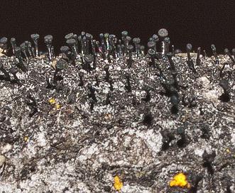 Mycocalicium subtile