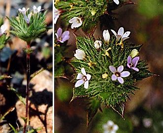 Navarretia rosulata