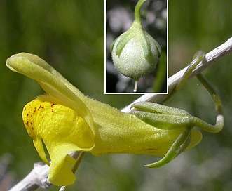 Neogaerrhinum filipes