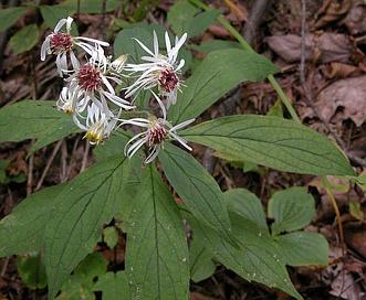 Oclemena acuminata