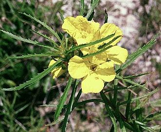 Oenothera berlandieri