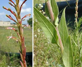 Oenothera curtiflora