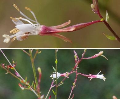Oenothera filipes
