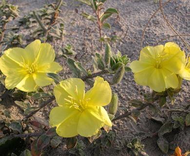 Oenothera humifusa
