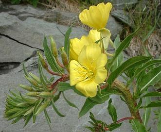 Oenothera oakesiana