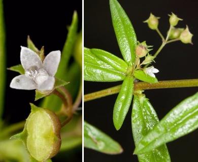 Oldenlandia corymbosa