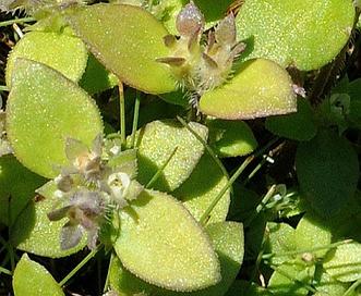 Oldenlandia uniflora