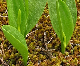 Ophioglossum engelmannii