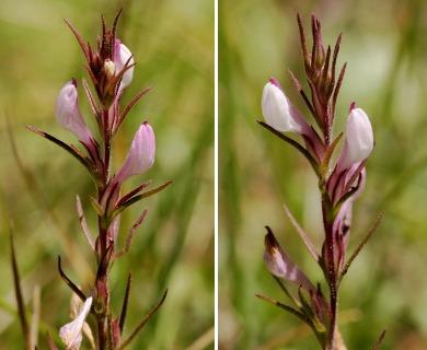 Orthocarpus purpureoalbus