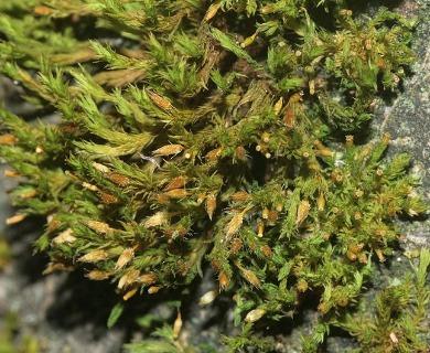 Orthotrichum speciosum