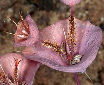 Oxytheca perfoliata