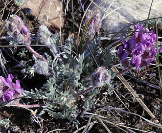 Oxytropis multiceps