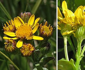 Packera dimorphophylla