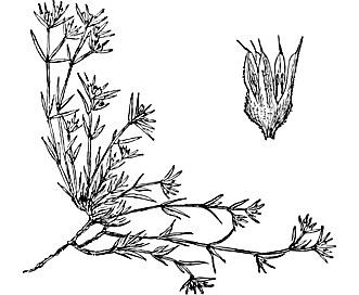 Paronychia depressa