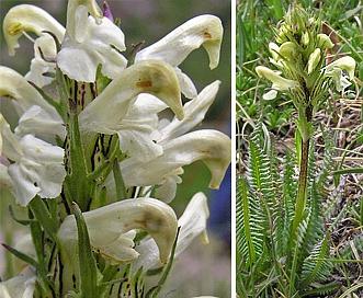 Pedicularis parryi