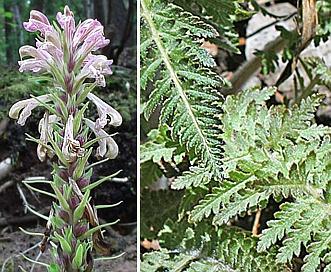 Pedicularis procera