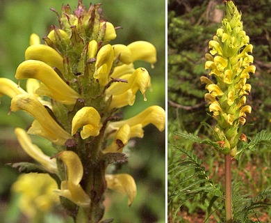 Pedicularis rainierensis
