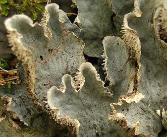 Peltigera canina
