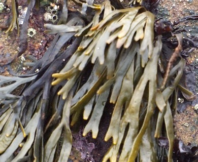 Pelvetiopsis limitata