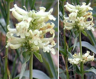 Penstemon confertus
