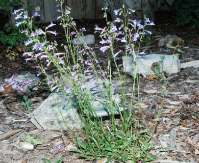 Penstemon griffinii