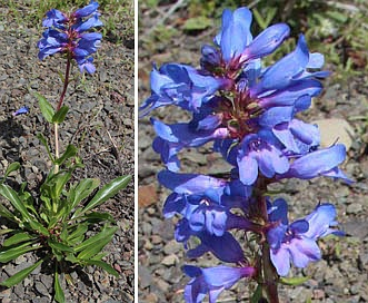 Penstemon pennellianus