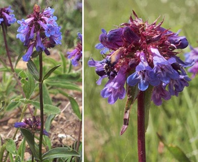 Penstemon procerus