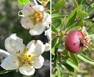 Peraphyllum ramosissimum