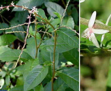 Petiveria alliacea