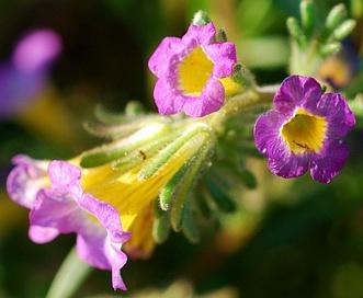 Phacelia bicolor