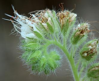 Phacelia heterophylla
