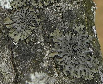 Phaeophyscia pusilloides