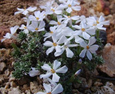 Phlox albomarginata
