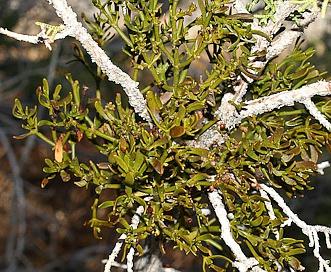 Phoradendron bolleanum