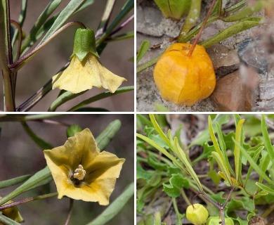 Physalis angustifolia