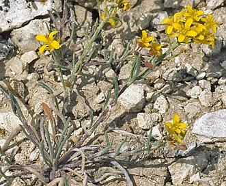 Physaria arenosa