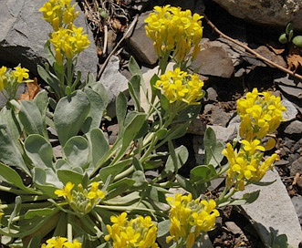 Physaria bellii